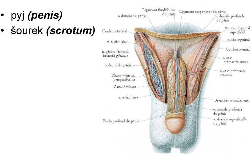 Popis stavby penisu